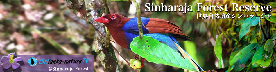 Sinharaja Forest Reserve 世界自然遺産シンハラージャ