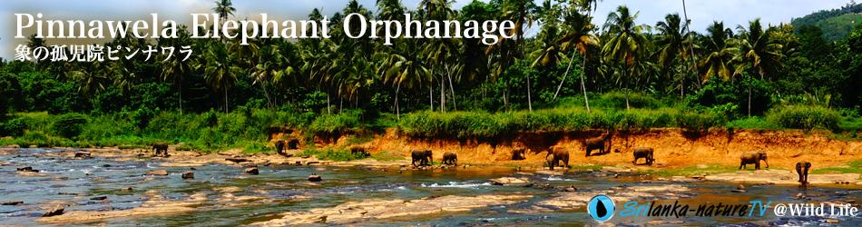 Pinnawela Elephant Orphanage 象の孤児院ピンナワラ